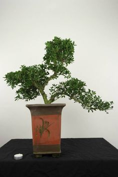 ilex crenata japanese evergreen holly bonsai tree. Black Bedroom Furniture Sets. Home Design Ideas