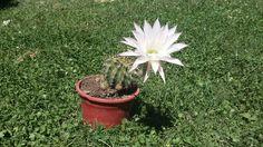 Cactus es flor  #cactus #flor