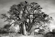 Esta mujer viaja por el mundo fotografiando impresionantes árboles de miles de años de antigüedad | Upsocl
