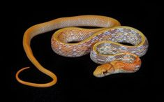 Latest Photos garden Snake Pet Strategies We often get questions about what is a. : Latest Photos garden Snake Pet Strategies We often get questions about what is a great beginner-friendly snake for anyone new to the hobby. Rat Snake, Corn Snake, Rosy Boa, Reptile Show, Garden Snakes, Snake Venom, Reptiles And Amphibians, Albino, Rats