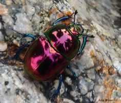 Earth Boring Scarab Beetle from Portugal: Trypocopris pyraneaus . Weird Insects, Bugs And Insects, Reptiles, Cool Bugs, Insect Photography, Beetle Bug, Pink Beetle, Beautiful Bugs, Insect Art