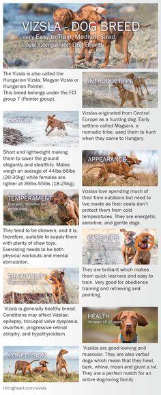 vizsla dog breed Infographic