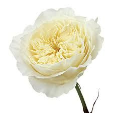 image result for patience garden rose - White Patience Garden Rose