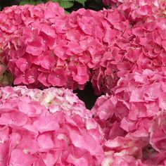 Gorgeous hydrangea blooms are ready to go for Easter!