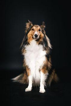 Clooney – ein fünfjähriger Sheltie war zu Besuch!   #Pfotentick #Hundefotografie #Studio #Shooting #Clooney #sheltie #dog #photography