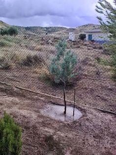 alcorque es el hoyo para el riego y el acolchado