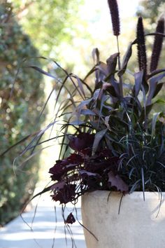 DIY Patio Planter: Dark and Stormy Shades by Julie Chai. container with purple millet, black mondo grass, sweet potato vine Patio Planters, Fall Planters, Diy Patio, Potato Vine Planters, Black Mondo Grass, Black Grass, Fountain Grass, Gothic Garden, Potato Vines