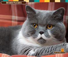 Origen: Gran Bretaña Longevidad: de 9 a 15 años Conoce más de este esponjoso felino en: http://www.universomascotas.co/razas/gatos/britanico-de-pelo-corto/33