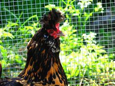 Russian Crested Chicken - Google Search
