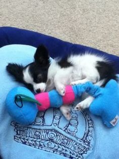 Mugzie.I am so obssessed with Papillons I have 2 and want 10. Oh sweet baby may God bless you with a long healthy ,happy, luxurious, life. Oh kissy,kissy,kissy.