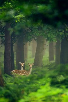"""""""Look deep into nature and you will understand everything better"""". Does / deer on watch in a magical forest. Beautiful Creatures, Animals Beautiful, Animal Photography, Nature Photography, Beautiful World, Beautiful Places, Beautiful Forest, Peaceful Places, Photo Animaliere"""