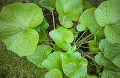 Grow your own Wasabi with the help of The English Wasabi company