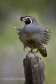 Male CA Quail with Ruffled Feathers