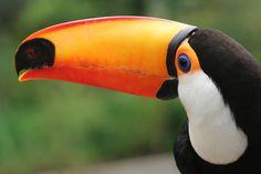 Tucano- Aves Exóticas| Fotos de animais Selvagens- Retratos