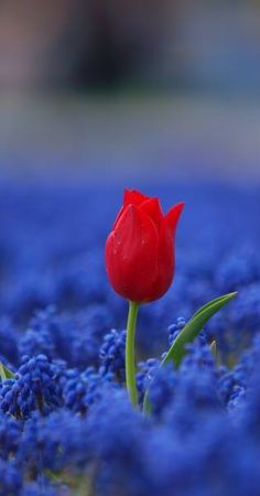 Grape hyacinths and a tulip