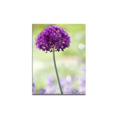 Blumenbild auf Leinwand, als Kunstdruck oder Fototapete : Allium, schwebend über Katzenminze