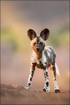 "beautiful-wildlife: ""I can hear you by © Georg Scharf """
