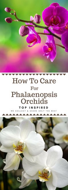 Through 10 easy tips on how to care for Phalaenopsis Orchids, you will learn everything you need in order to maintain a healthy, blooming plant that will bring a pop of color, elegance and sophistication into your home.