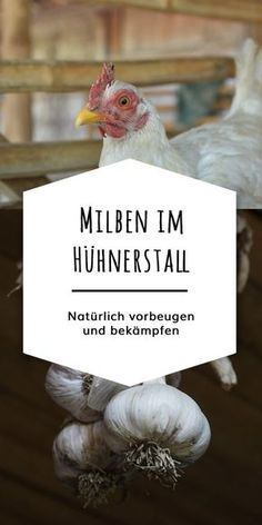 Mites in chickens can be effectively prevented and treated with a good hygiene routine and natural home remedies. Herbs like garlic and thyme strengthen the defense of your chickens and drive away annoying ectoparasites like … Stuffed Mushrooms, Stuffed Peppers, Medicinal Herbs, Bird, Routine, Pallets, Chicken Roost, Naturally Organic, Organic Chicken