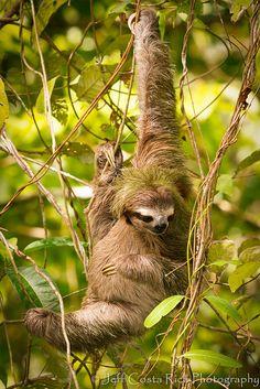 Three Toed Sloth, via Flickr.