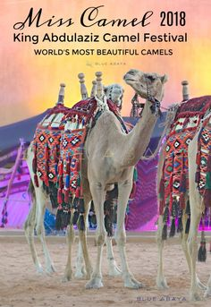 Visit The Camel festival and other 14 other Activities To Do in Riyadh During The Winter | Blue Abaya