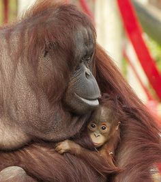 Potential parent: Hsiao-quai cuddles up to three-year-old female orangutan, Awan, who she adopted after she was abandoned by her mother