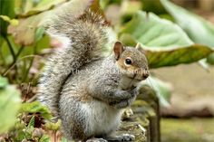 One of many baby squirrels at Nottingham's old Elizabethan manison, Wollaton Hall.  Built in 1588 the hall also boasts a golf course and deer park.
