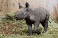En el zoológico de Zurich y por primera vez en 18 años nació un rinoceronte negro (es raro que animales así nazcan en cautiverio). Este tipo de rinoceronte es muy poco común.