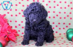 This fun & loving Toy Poodle pup is ready to jump into your arms. He is a social butterfly who will be the talk of the town. Toy Puppies For Sale, Poodle Puppies For Sale, Design Development, Dog Lovers, Kittens, Cute Animals, Teddy Bear, Puppys, Toys