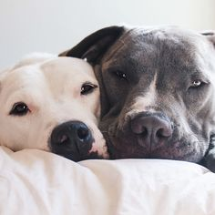 Love is all we need.  #woof #dogs #bullies