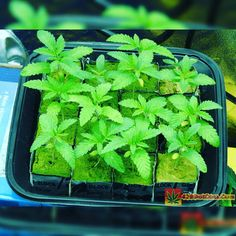 Karma Genetics Karmarado OG Grow (TK X SFV OG X WHITE OG)  High Pressure Aeroponics  1200 Watts  7 day old Karmarado OG seedlings  Full grow journal at:  http://ift.tt/1YzBJiR  TAP LINK IN BIO @howtogrowweed420  #weed #marijuana #cannabis #medicalmarijuana #mmj #ogkush #og #loud #dank #hydroponics #aeroponics #howtogrowweed #growingweed #420dotcom #howtogrow #howtogrowweedindoors #karmagenetics  #awardwinningcircle #karma_squad_strong  #cinderella99 #brothersgrimmseeds
