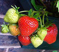 la fresa sus vitaminas,minerales, sustancias fitoquímicas y beneficios para nuestra salud