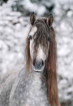 Dapple Gray Andalusian