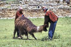 Image result for llama shearing Shearing, Camel, Animals, Image, Animaux, Camels, Animal, Animales, Bactrian Camel