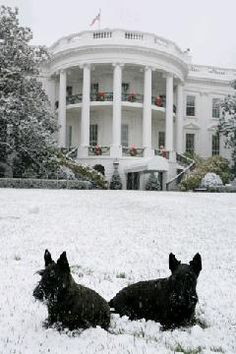 Barney and Mrs Beasley...the Bush's two Scottish Terriers