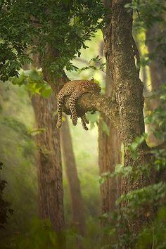 A beautiful leopard sleeping a tree. Stunning pic!