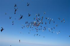 Falling headfirst at about 175 mph, 138 jumpers shattered the world skydiving record for the most people linked in midair. The skydivers were able to form a massive snowflake formation after jumping out of six different airplanes on Aug. 3 in Ottawa, Ill. The previous record was 106 linked skydivers. (© Norman Kent/Barcroft Media/Landov)