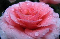 Agua de rosas o sirope de rosas