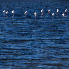 Fuseta. Flamingo #portugal #algarve #riaformosa #birds