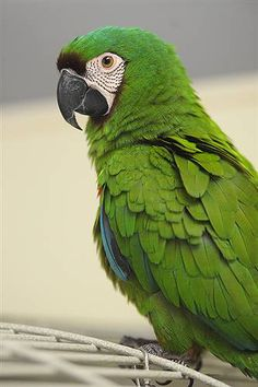 77 best severe macaw