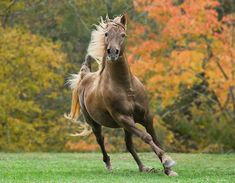 HOR 01 MB0193 01 Silver Dapple Rocky Mountain Horse Cantering In Pasture