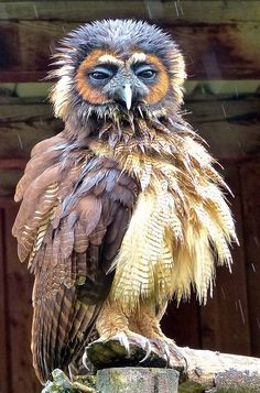 Brown Wood Owl: