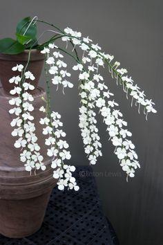 Aerangis citrata (Madagascar) (evening fragrant: strong lemon scent)