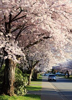 Cherry Blossom, Surrey BC