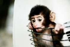 I want a baby monkey too! :) Oh and a petite lap giraffe so looks like I need myself a little farm! Cute Baby Monkey, Pet Monkey, Cute Baby Animals, Funny Animals, Monkey Monkey, Primates, Cutest Thing Ever, Baby Bunnies, Baby Cats