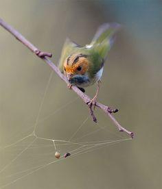 https://flic.kr/p/7rTdAi   #537 棕面殘絲 (Seems to Weaving Rug)   棕面鶯.攝於台灣 台中縣 大雪山 Fulvous-faced Flycatcher Warbler, taken at DaSyueShan, Taichung County, TAIWAN