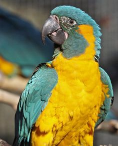 Blue-throated Macaw (Ara glaucogularis) © 2013 World Parrot Trust