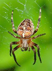 """Araneus diadematus"" or Spiders, are the most familiar of the Arachnids. - Wikipedia, the free encyclopedia"