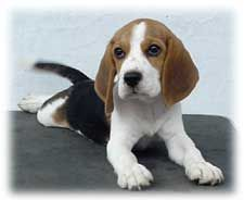 Picture of the Week Pocket Beagle Puppies, Beagle Puppy, Cute Beagles, Pictures Of The Week, Dogs, Animals, Animales, Animaux, Pet Dogs
