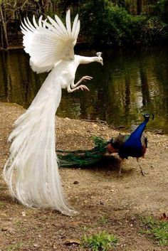 """The white peacock is like """"let's see how you like your colourful feathers scattered around.and the blue peacock is like """"WTF?"""" Imagine the white peacock is Lord Shen XD Pavo Real Albino, Albino Peacock, Pretty Birds, Beautiful Birds, Animals Beautiful, Animals Amazing, House Beautiful, Animals And Pets, Funny Animals"""